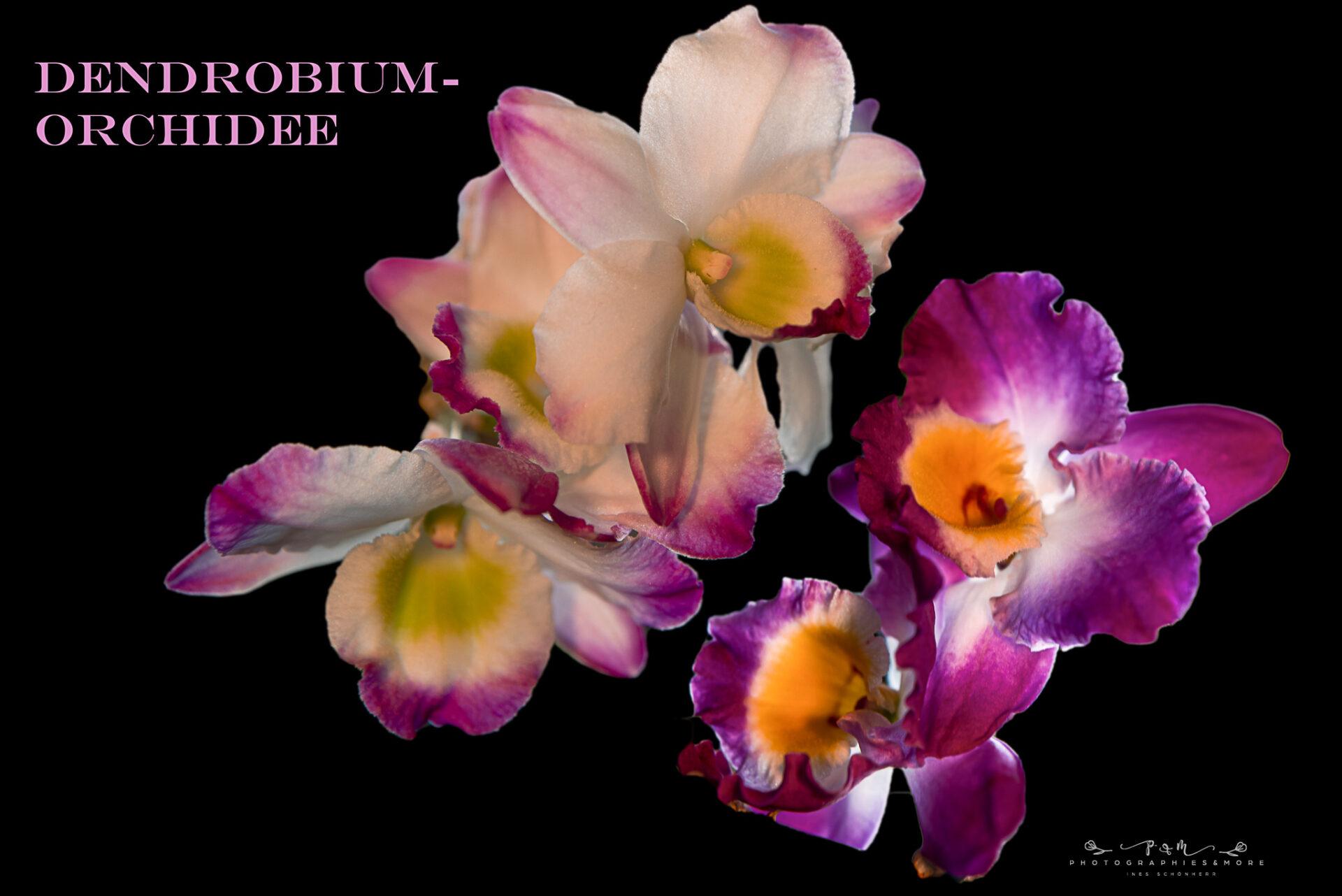 IMGP5268-Dendrobium-Orchidee